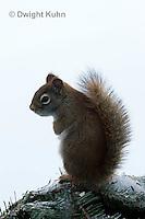 MA07-502z  Red Squirrel, in winter, Tamiasciurus hudsonicus