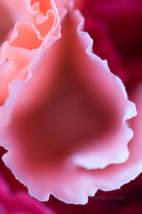 close-up of a godetia flower - commercial/editorial licensing for this image is available through: http://www.gettyimages.com/detail/200219193-001/Photographers-Choice