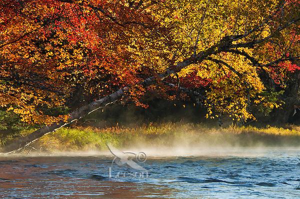 Yellow birch (Betula alleghaniensis), Sugar maple (Acer saccharum) & morning mist along Mersey River, fall, Kejimkujik NP, Nova Scotia, Canada.