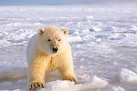 polar bear, Ursus maritimus, cub on the pack ice, 1002 coastal plain of the Arctic National Wildlife Refuge, Alaska, polar bear, Ursus maritimus