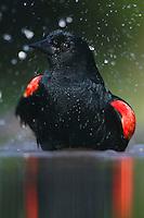 Red-winged Blackbird (Agelaius phoeniceus),male bathing, Rio Grande Valley, Texas, USA