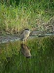 Black-crowned Night Heron in the Myakka River