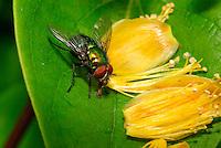 Greenbottle fly ( Lucilia caesar )....Copyright..John Eveson, Dinkling Green Farm, Whitewell, Clitheroe, Lancashire. BB7 3BN.01995 61280. 07973 482705.j.r.eveson@btinternet.com.www.johneveson.com