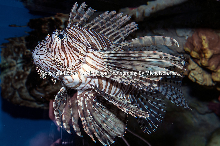 Red lionfish 45 degrees to camera