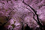 Visitors admire illuminated cherry blossoms at  Chidorigafuchi moat in Tokyo, Japan, April 5, 2016.  (Photo by Yuriko Nakao/AFLO)