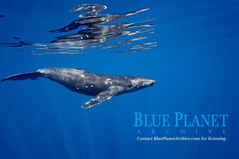 A humpback whale, Megaptera novaeangliae, off the coast of Lanai, Hawaii.