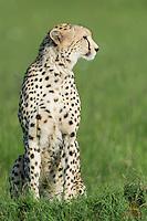 Cheetah scans the Mara for potential prey