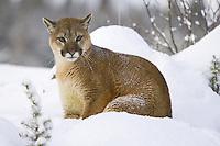 Young Puma sitting on a snowy hill - CA