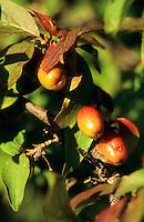 Kornelkirsche, Kornel-Kirsche, Kornellkirsche, Kornell-Kirsche, Früchte, Cornus mas, Cornelian Cherry