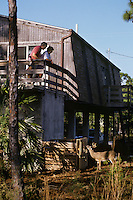 Key Deer Buck looking up at people viewing him from their deck.  Big Pine Key in the Florida Keys.