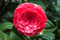 Camellia japonica 'Nitida'. Introduced by the Vauxhall nursery of Chandler & Son in 1842. Imported from China by John Russell Reeves, who had succeeded his father, John Reeves, as inspector of tea for the East India Company in Canton. (From catalogue, Camellias in the Conservatory Festival 2011, Chiswick House and Gardens).