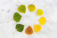 Leaves arranged in a circle on the snow covered boreal forest in Fairbanks, Alaska, show the transition from autumn to winter.
