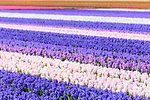 Spring flower displays dominated by hyacinths. Keukenhof Flower Gardens, Lisse, near Amsterdam, The Netherlands.