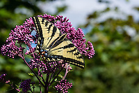 Western Tiger Swallowtail (Papilio rutulus) on flowering bush, Pacific Northwest. Summer.