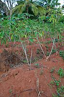 Zanzibar, Tanzania.  Cassava Growing in a Farmer's Field.