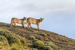 Young male puma with female sibling (Puma concolor) (southern subspecies Puma concolor puma) (in N. America, cougar or mountain lion). Private ranch land (Estancia Amarga) on the outskirts of Torres del Paine National Park, Patagonia, Chile.