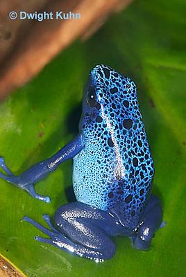 FR24-501z    Blue Poison Arrow Frog, Dendrobates azureus, Central America