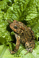 FR11-039a  American Toad - toad in garden with lettuce, Anaxyrus americanus, formerly Bufo americanus