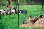 Steam Valley Fiber Farm..Chicken watching goats