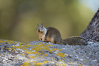 California Ground Squirrel (Otospermophilus beecheyi), Sequoia and Kings Canyon National Park, California, USA