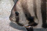 Atlantic spadefish swimming left, cloise-up