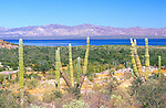 Cardon Cactus at Bahia Concepcion, Baja California Sur, Mexico