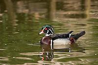 Brautente, Braut-Ente, Männchen, Erpel, Aix sponsa, wood duck