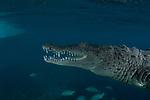 American Crocodiles, Crocodylus acutus, Cuba Underwater, Jardines de la Reina, marine reptiles, Protected Marine park underwater