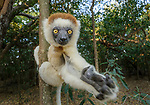 Adult Verreaux's sifaka (Propithecus verreauxi)  in gallery forest. Berenty Private Reserve, southern Madagascar.