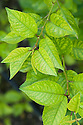 """Yellowing of the leaves between the veins indicates that this 'Morello' cherry has a mineral deficiency. It may lack the nutrients iron or manganese (known as """"lime-indiced chlorosis"""") or magnesium."""