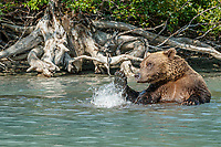 Alaskan Brown Bear (Ursus Arctos) rolls in water at shore of Crescent Lake in Lake Clark National Park, Alaska.  Summer<br /> <br /> Photo by Jeff Schultz/  (C) 2019  ALL RIGHTS RESERVED