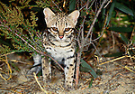 Weighing between three and six pounds, oncilla are miniaturized versions of the ocelot. Found in tropical forests from Costa Rica to northern Argentina, this little-known small, spotted cat is threatened by habitat loss.