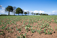 Vining peas emerging - May, South Lincolnshire