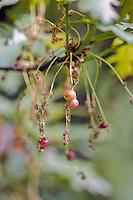 Besgal (Neuroterus quercusbaccarum) op bloeiwijze eik