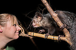 Male Aye-aye (Noah) (Daubentonia madagascariensis) with keeper Lynsey Bugg. Nocturnal House, Bristol Zoo Gardens, Clifton, Bristol, UK.