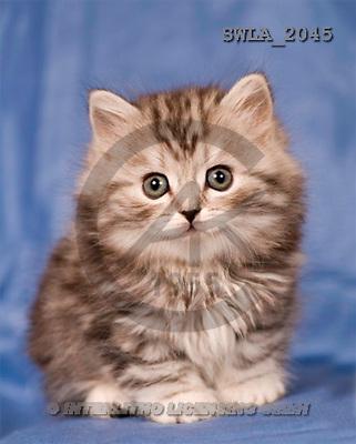 Carl, ANIMALS, photos, grey kitten, blue fond(SWLA2045,#A#) Katzen, gatos