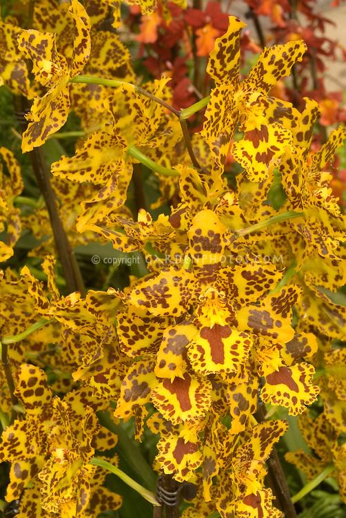 Popular orchid hybrid Colmanara Wildcat in vivid yellow flowers, many on flowers stems . Correct genus is now Oncostele. Oncostele Wildcat.