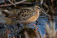 A short-billed dowitcher is one of many species of migratory shorebirds arriving daily in Anchorage's wetlands as the ice thaws and vegetation begins to regrow after a long winter.