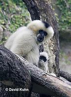 0906-0813  White-cheeked gibbon with Baby, Nomascus leucogenys  © David Kuhn/Dwight Kuhn Photography.