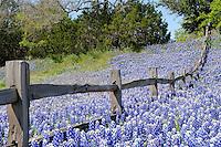 Bluebonnets, Buchanan Dam, Texas