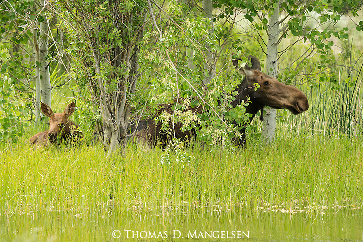 A cow moose and her calf lay in the grass in Northwest Wyoming.