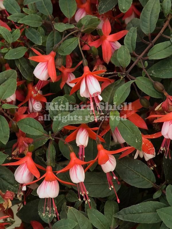 Fuchsia Snowfire