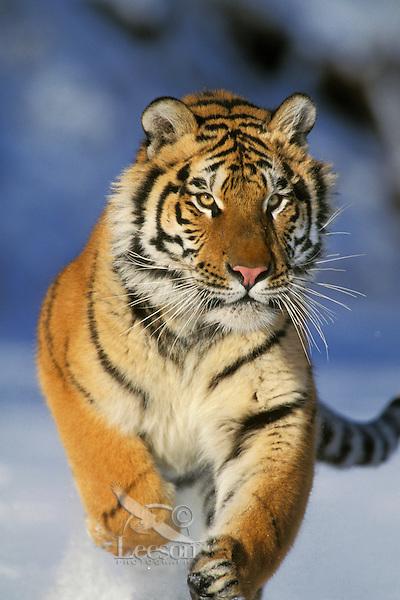 Siberian Tiger (Panthera tigris) running, Endangered Species.  Winter.