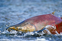 Chinook or King Salmon (Oncorhynchus tshawytscha) trying to negotiate shallow water on its spawning stream.  Pacific Northwest.