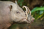 Male Babirusa (Babyrousa celebensis) from the Island of Sulawesi (Celebes), Indonesia. Photograph taken in captivity at Singapore Zoo.