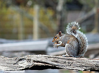 Sweet looking gray squirrel holding nut with arms and sitting on an old wooden fecne- Free nature stock photo