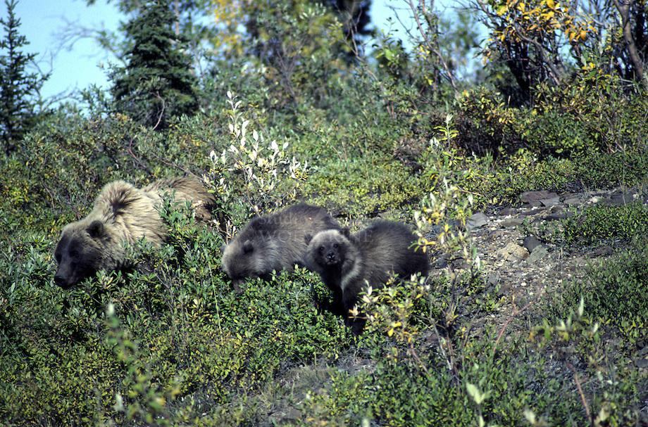 Grizzly beer (Ursus arctos horibilis)