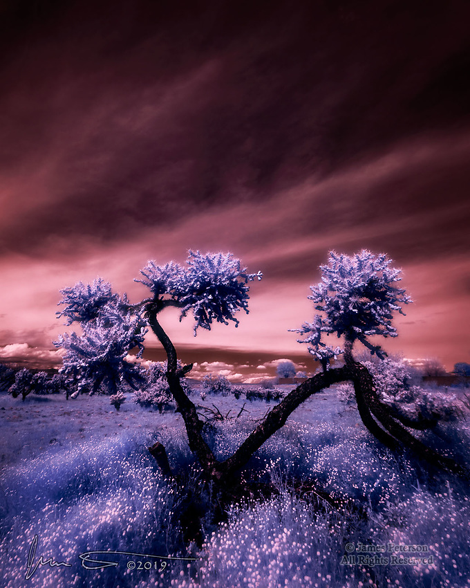 "Cholla Forest, Lower Sonoran Desert, Arizona (Infrared) ©2019 James D Peterson.  Chollas are among the gnarliest (and nastiest) cacti found anywhere.  Members of the Opuntia genus, they are related to prickly pears and are found throughout the southwestern US.  They sometimes occur in patches called ""forests"", which are packed with their rugged and contorted forms and which can be pretty risky to navigate."