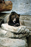 BEAR RESTS ON ROCKS AT DENVER ZOO