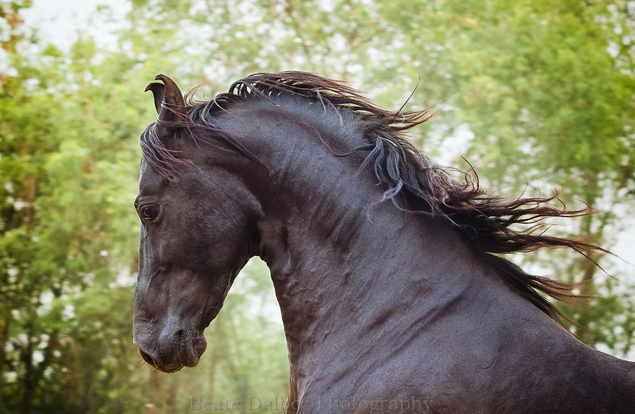 Marwari stallion, Punjab, India